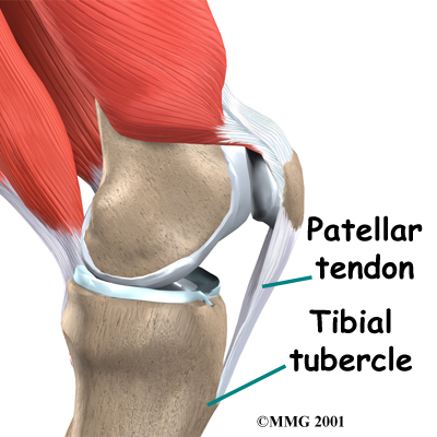 Normal patellar tendon