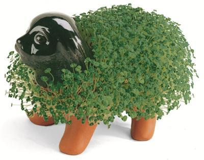 Attached Image: chia.JPG